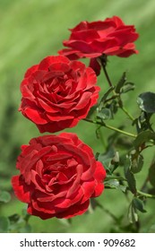 three Red Roses In The Garden