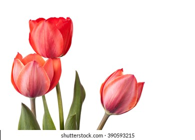 Three red tulips isolated on a white background
