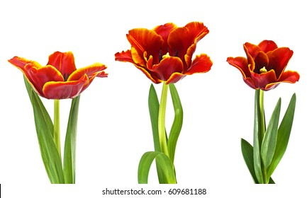 Three red tulips on a white background, close up