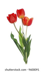 a three red tulips with stem on white