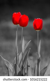 Three Red Tulips, tulipa on black and white background