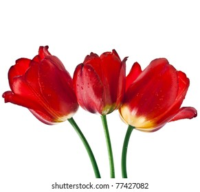 three red tulips with water drops isolated on white