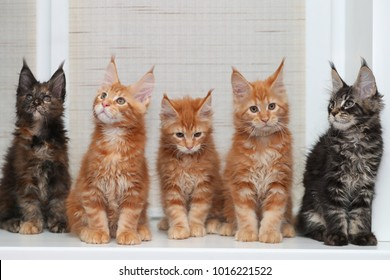 Three red and two dark Maine Coon kitten sitting on the windowsill