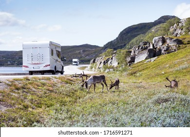 three reindeers grazing grass along the asphalt road; on the road two camper vans are traveling to Nordkapp
