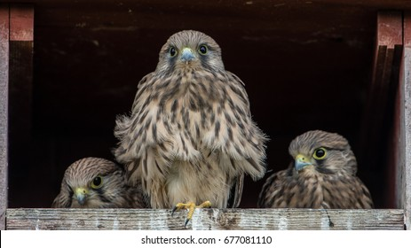 The three remaining nestlings in the Kestrel's (Falco tinnunculus) nest box.
