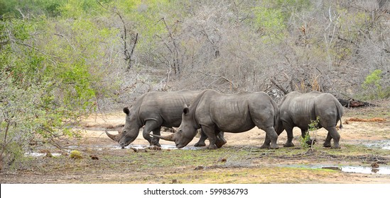 Three Rhinoceros looking for water during a drought in Kruger National Park in South Africa
