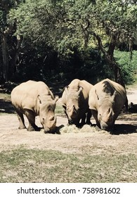 Three Rhinos eating.