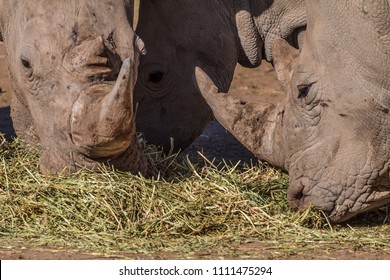 Three rhino's feeding on grass