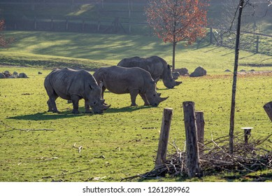 Three rhino's graze in the sunshine