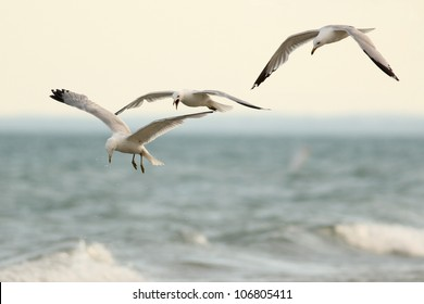 Three Ring-billed Gulls (Larus delawarensis) flying over the Surf in Lake Huron, Ontario