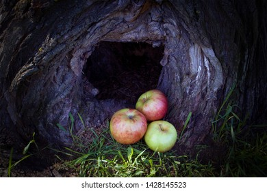 Three ripe apples lying in a dark hollow of a big tree trunk
