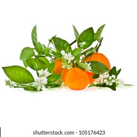 Three ripe oranges on the branches with green leaves and orange flowers isolated on white background
