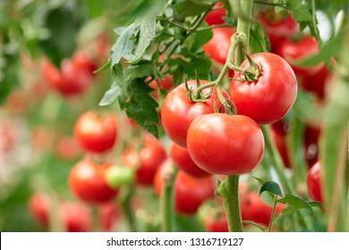 Drei reife Tomaten auf grünem Ast. Gemüseanbau im eigenen Anbau auf Weinreben im Gewächshaus. Herbsternte auf ökologischem Bauernhof.
