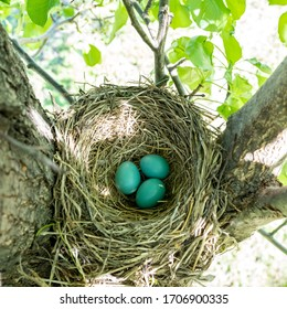 Three robin eggs in woven nest on tree branch