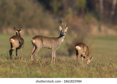 three roe deer grazing on the meadow. Wildlife scene from spring nature