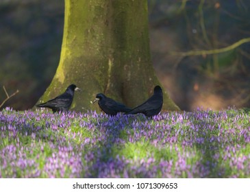 Three rook birds standing on the grass with flowering crocuses gathering nesting materials