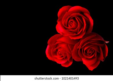 Three rose flowers isolated on black background with clipping path