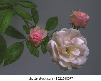 Three Roses White and Pink Green Leaves on Gray Background