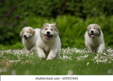 Three running Great Pyrenees puppies