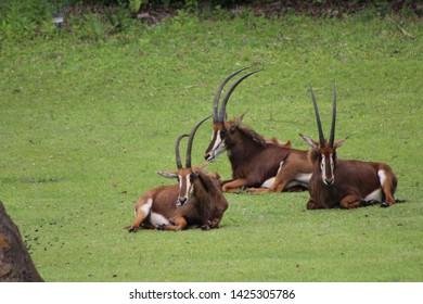 Three Sable Antelope Laying on Grass