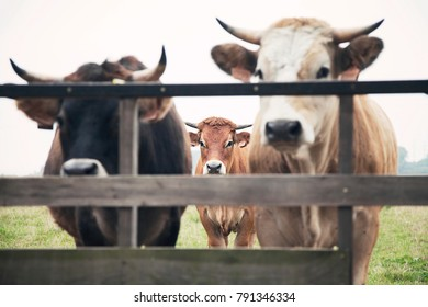 Three Sad cows behind the fence