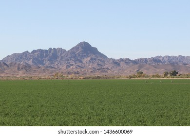 Three Sandhill Crane in a green field with the Palo Verde Mountains in the background, Cibola National Wildlife Refuge, Arizona