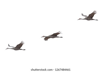 Three sandhill cranes spread their wings and fly across a white background
