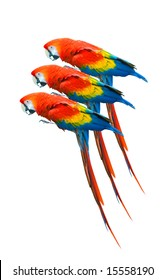 Three scarlet macaw , isolated on white