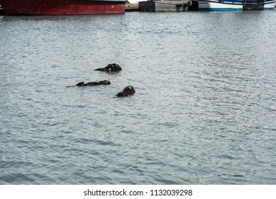 Three sea otters floating in a small boat harbor in Seward, Alaska.