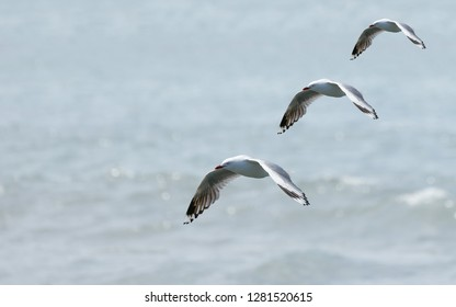 Three seagulls flying in formation (composite)