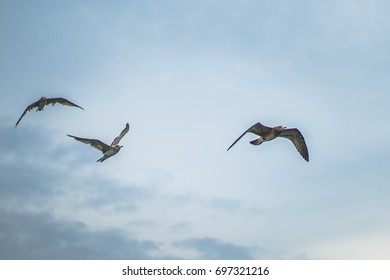 Three seagulls flying in the sky