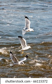 Three seagulls hunting in flight over rushing water of river