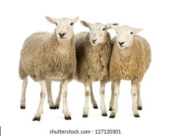 Three Sheep against white background