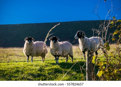 Three Sheep The Farm, Summer,blue sky, in distance Pendle Hill, Forest Of Bowland, Lancashire, England, UK