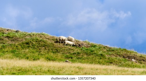 Three sheep grazing in a field in Northern Ireland