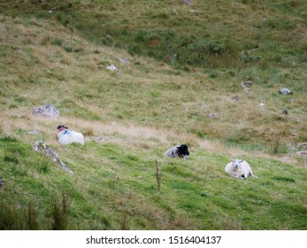 Three sheep laying on a grass on a hill, Concept livestock, agriculture, farming,