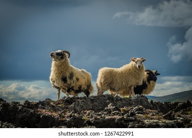 Three sheep on a hill in Iceland