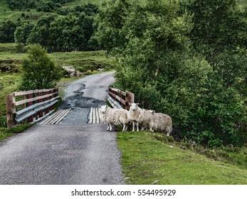 Three Sheep on Single Track Road, Scottish Highlands