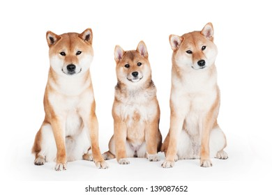 Three shiba inu dogs