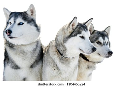 Three Siberian Husky dogs looks around.  Husky dogs has black and white coat color. Isolated white  background.