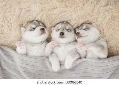 Three of siberian husky puppies sleeping under a grey blanket