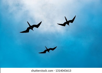 Three silhouettes of magnificent frigate birds (frigata magnificens) flying around a boat at sunset with a lovely blue and clouds background, Galapagos Islands, Ecuador.