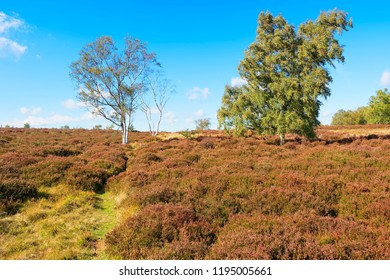 Three Silver Birch trees stand on a gentle rise on Stanton Moor in the Derbyshire Dales