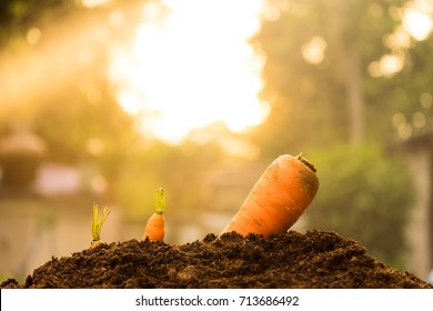 three size carrot growth in soil with sun ray background. step to start business from small to big concept