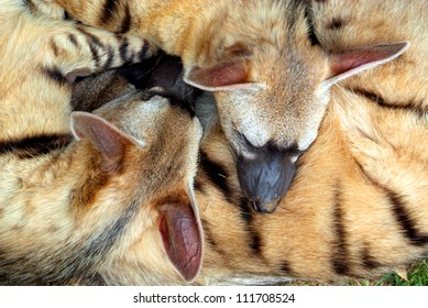 Three Sleeping Aardwolves - small, insectivorous hyenas, native to Eastern and Southern Africa.