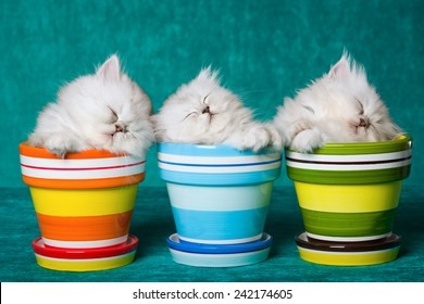 Three sleeping Silver Chinchilla kittens in pots containers on green background