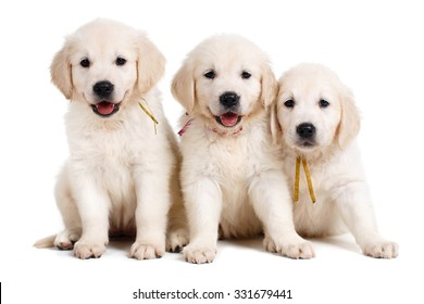 Royalty Free Golden Retriever Puppy Images Stock Photos Vectors