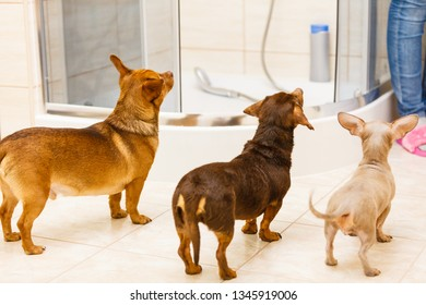 Three small dogs joyfully looking at owner. Miniature purebreed puppies in bathroom.