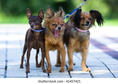 three small dogs on one leash