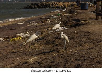 Three small egrets (Egretta garzetta) on fish market Negombo (Sri Lanka) walk along the seashore and look for food among the garbage. Its a white bird with a black beak, black legs and yellow feet.